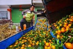 Agricoltore cinese che lavora alla lavatrice della frutta, harve di processi Fotografie Stock Libere da Diritti