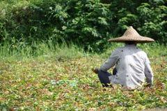 Agricoltore cinese nel campo Fotografie Stock Libere da Diritti