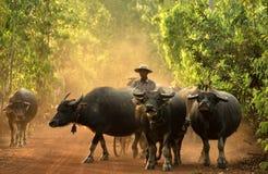 Agricoltore con acqua del bufalo Immagini Stock