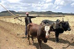 Agricoltore con i buoi e l'aratro sulla strada alle terre coltivabili Fotografia Stock