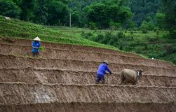 Agricoltore con il bufalo sul giacimento del riso Fotografie Stock Libere da Diritti