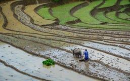 Agricoltore con il bufalo sul giacimento del riso Immagini Stock Libere da Diritti