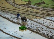Agricoltore con il bufalo sul giacimento del riso Immagine Stock Libera da Diritti