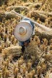 Agricoltore con il cappello di paglia che funziona durante il raccolto del riso Immagine Stock Libera da Diritti