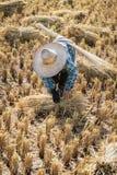 Agricoltore con il cappello di paglia che funziona durante il raccolto del riso Immagini Stock Libere da Diritti