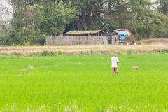 Agricoltore con il giacimento del riso in Tailandia Fotografia Stock