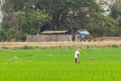 Agricoltore con il giacimento del riso in Tailandia Fotografie Stock Libere da Diritti