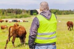 Agricoltore con il PC della compressa vicino alle mucche al pascolo Fotografie Stock