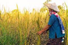 Agricoltore con il raccolto del riso, agricoltore di concetto Fotografia Stock