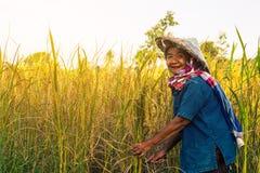 Agricoltore con il raccolto del riso, agricoltore di concetto Fotografia Stock Libera da Diritti