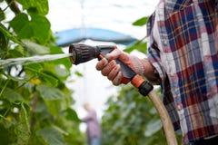 Agricoltore con il tubo flessibile di giardino che innaffia alla serra Immagini Stock