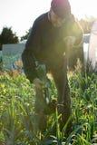 Agricoltore con la forca che sradica un porro Fotografia Stock