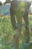 Agricoltore con la forca che tira porro da terra con il chiarore della lente Fotografie Stock Libere da Diritti