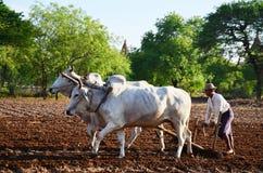 Agricoltore con la mucca per l'aratura del rimorchio sulla risaia Fotografie Stock Libere da Diritti