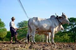 Agricoltore con la mucca per l'aratura del rimorchio sulla risaia Immagine Stock