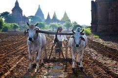 Agricoltore con la mucca per l'aratura del rimorchio sulla risaia Fotografie Stock