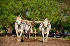 Agricoltore con la mucca per l'aratura del rimorchio sulla risaia Fotografia Stock