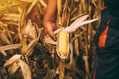 Agricoltore con la pannocchia di granturco matura pronta del cereale del raccolto nel campo Immagini Stock Libere da Diritti