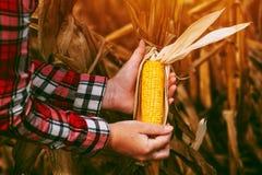 Agricoltore con la pannocchia di granturco matura pronta del cereale del raccolto nel campo Immagine Stock