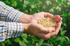 Agricoltore con la soia del od di manciata nel campo coltivato Immagine Stock