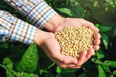 Agricoltore con la soia del od di manciata nel campo coltivato Fotografia Stock