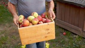 Agricoltore con le mele appena raccolte in scatola di legno agricoltura e concetto di giardinaggio stock footage