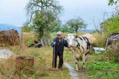 Agricoltore con le mucche su un campo verde Immagini Stock
