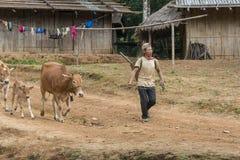 Agricoltore con le sue mucche nel Laos Immagini Stock