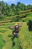 Agricoltore con lo strumento di legno per preparare risaia Fotografia Stock Libera da Diritti