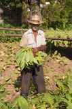 Agricoltore cubano che sta nel campo di tabacco Immagine Stock