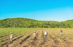 Agricoltore cubano del campo sul giacimento della canna da zucchero durante il raccolto in Cienfuegos Cuba - il rappresentante di Fotografia Stock Libera da Diritti
