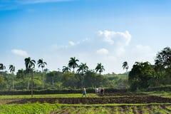 Agricoltore cubano del campo sul giacimento della canna da zucchero durante il raccolto in Santa Clara Cuba - Serie Cuba R Fotografia Stock