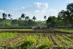 Agricoltore cubano del campo sul giacimento della canna da zucchero durante il raccolto in Santa Clara Cuba - Serie Cuba R Fotografia Stock Libera da Diritti