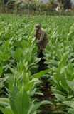 Agricoltore cubano di tabacco che lavora in mezzo alla sua piantagione dentro Immagini Stock