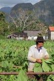 Agricoltore cubano nei campi di tabacco Fotografia Stock