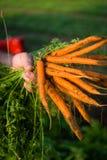 Agricoltore Cultivating Carrots Fotografie Stock Libere da Diritti