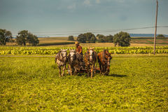 Agricoltore Cuts Hay di Amish Fotografie Stock