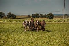 Agricoltore Cuts Hay di Amish Fotografia Stock