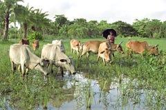 Agricoltore del Bangladesh con le mucche sulla strada da pascere Immagine Stock