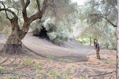 Agricoltore del Cretan che pulisce le reti di raccolta delle olive nel Mo Fotografie Stock
