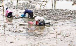 Agricoltore del cuore edule che si siede sul bordo mentre raccolga i cuori edule Immagine Stock