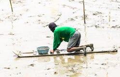 Agricoltore del cuore edule che si siede sul bordo mentre raccolga i cuori edule Fotografie Stock
