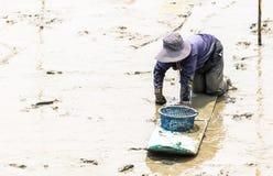 Agricoltore del cuore edule che si siede sul bordo mentre raccolga i cuori edule Immagini Stock