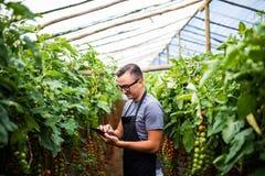 Agricoltore del giovane che controlla i pomodori online delle verdure di vendite sulla compressa sulla serra Immagine Stock