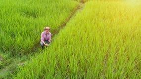 Agricoltore del giovane che controlla il greenfield del riso Immagine Stock Libera da Diritti