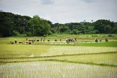 Agricoltore del Laos della gente delle piantine del riso del trapianto Immagini Stock Libere da Diritti