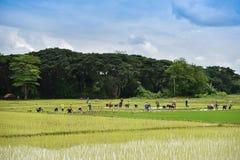 Agricoltore del Laos della gente delle piantine del riso del trapianto Immagini Stock