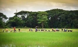 Agricoltore del Laos della gente delle piantine del riso del trapianto Fotografia Stock