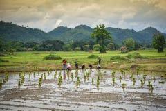 Agricoltore del Laos della gente delle piantine del riso del trapianto Fotografia Stock Libera da Diritti