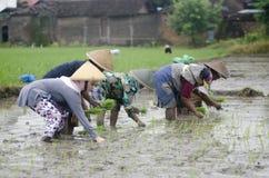 AGRICOLTORE DEL LAVORO DI AGRICOLTURA DELLA DONNA DELL'INDONESIA Fotografie Stock